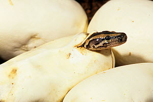Indian python (Python molurus) hatching from egg, India, captive, Sequence - Mary McDonald