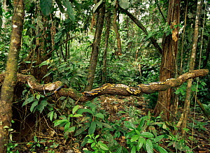 Black and yellow rat snake (Spilotes pullatus) crawling along tree trunk in amazonia rainforest, Ecuador - MORLEY READ