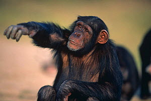 Chimpanzee {Pan troglodytes} portrait of orphaned juvenile 'Sophie' reaching hand out and protesting,  Sweetwater Sanctuary, Kenya - Anup Shah