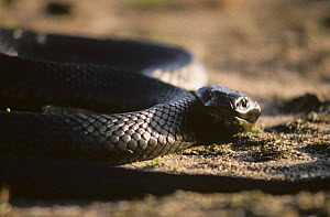 Black tiger snake (Notechis ater) Bass strait, Chappell Island, Australia - Martha Holmes
