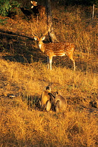 Chital / Spotted deer stag (Axis axis) with Hanuman langurs (Presbytis entellus) grooming in foreground, Bandhavgarh National Park, India  -  E.A. KUTTAPAN