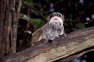 Emperor tamarin, Amazon rainforest  -  JIM CLARE