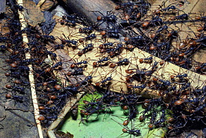 Army ants forage for prey (Eciton burchelli) Trinidad  -  PREMAPHOTOS