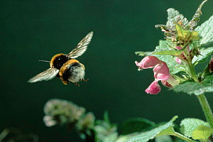 Bumblebee flies from Lamium flower (Spotted deadnettle) Germany - Dietmar Nill