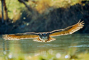 Eagle owl flying low over water (Bubo bubo) Germany. - Dietmar Nill