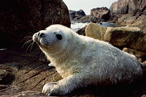 Grey seal pup. Scilly Isles, UK. (Halichoerus grypus) 2 weeks old  -  Andrew Cooper