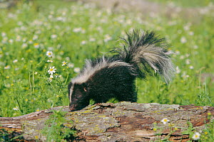 Striped skunk (Mephitis mephitis) USA captive - Lynn M Stone