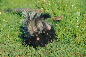 Striped skunks in defensive posture (Mephitis mephitis) USA captive - Lynn M Stone