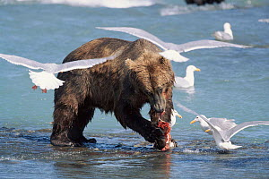 Grizzly bear fishing for salmon with Glaucous winged gulls trying to scavenge, McNeil river, Alaska - Lynn M Stone