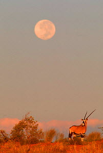 Oryx (Oryx gazella) with full moon, Kalahari Gemsbok NP Africa South Africa. - Francois Savigny