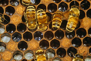 Honey bee workers feeding larvae (Apis mellifera) UK  -  John B Free