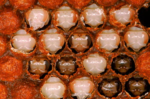 Honey bee - capped brood of pupae with pupae exposed, England  -  John B Free