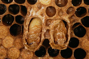 Honey bee queen cells and pupae (Apis mellifera) - cells opened to show pupae  -  John B Free