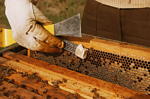 Introducing queen honey bee (Apis mellifera) to hive, UK (Queen has been reared artificially)  -  John B Free