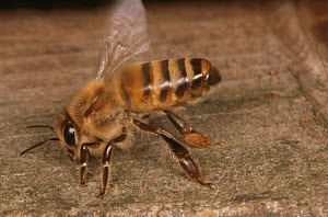 Honey bee {Apis mellifera} fanning its wings to cool the hive (Apis mellifera) UK  -  John B Free
