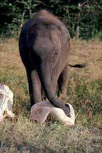 Young Indian Elephant inspecting bones of dead elephant. Sri Lanka. - SIMON KING
