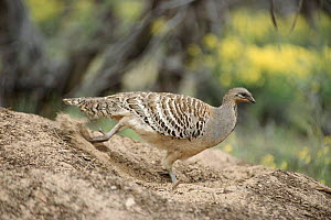 Mallee fowl male working nest mound. Eggs are laid in mound and incubated by 'composting' heat of vegetation in mound. Temperature regulated by adding or removing material by adults. Australia  -  John Cancalosi
