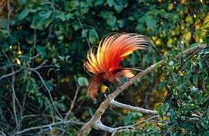 Raggiana bird of paradise (Paradisaea raggiana) male displaying at lek Papua New Guinea, Varirata NP.  -  Phil Savoie
