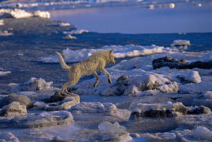 White Arctic race female Grey wolf (Canis lupus) leaping across melting ice floes, Ellesmere Island, Canada. Wild  -  Jeff Turner