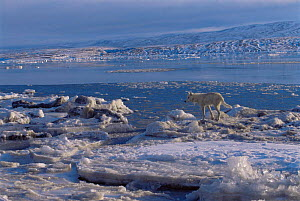 White Arctic race female Grey wolf (Canis lupus) about to jump across ice, Ellesmere Island, Canada. Wild  -  Jeff Turner
