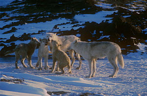 Grey wolf (Canis lupus) white arctic race, pups begging for food, Ellesmere Island, Canada  -  Jeff Turner