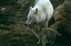 Grey wolf {Canis lupus} (white arctic race) mother with pup begging for food, Ellesmere Island, Canada  -  Jeff Turner