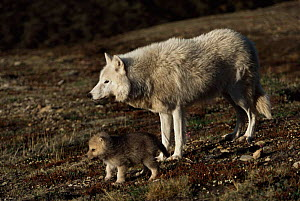 Grey wolf mother and pup near den (Canis lupus) Ellesmere Island, Canada.  Wild white Arctic race.  -  Jeff Turner