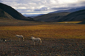 Grey / White arctic race wolf yearlings {Canis lupus} Ellesmere Island, Canada.  -  Jeff Turner