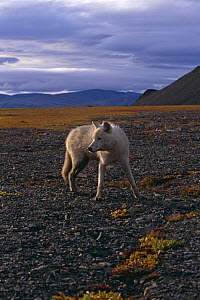 Grey wolf {Canis lupus} yearling (White Arctic race) Ellesmere Island, Canada  -  Jeff Turner