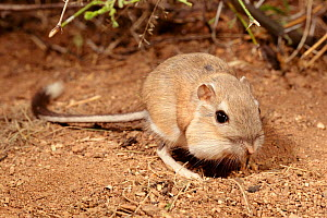 Bannertail kangaroo rat eating. (Dipodomys spectabilis) Arizona USA Full pouches  -  Mary McDonald