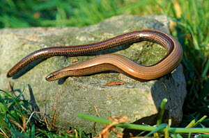 Slow worm (Anguis fragilis) on rock. England, UK, Europe - Colin Seddon