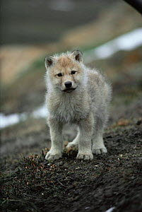 White Arctic race tiny Grey wolf pup (Canis lupus)  Ellesmere Island, Canada. Wild  -  Jeff Turner