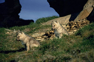 Two wild pups of Arctic white form of Grey wolf (Canis lupus) Ellesmere Island, Canada  -  Jeff Turner