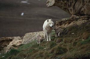 White arctic form of wild Grey wolf (Canis lupus) adult female with two pups, Ellesmere Island, Canada  -  Jeff Turner