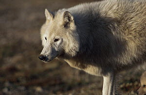 White arctic form of wild Grey wolf (Canis lupus) adult female, Ellesmere Island, Canada  -  Jeff Turner