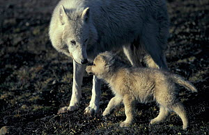Grey wolf white Arctic form wild (Canis lupus) pup begging for food from mother. Ellesmere  -  Jeff Turner