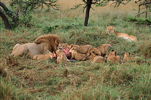 Lion pride feeding, Masai Mara, Kenya, Africa. Male and cubs feeding with female lioness looking on - Peter Blackwell