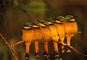 Six Little bee-eaters (Merops pusillus) perched in a row, Masai Mara, Kenya, Africa - Peter Blackwell