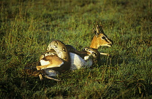 Rock python {Python sebae} constricting a Thomson's gazelle {Gazella thomsoni} Masai Mara, Kenya. Gazelle eventually escaped.  -  Peter Blackwell