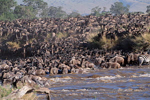Wildebeest migrating across the Mara River, Kenya  -  Peter Blackwell