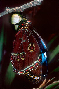 Morpho butterfly newly emerged from pupa, Ecuador Amazonian rainforest  -  Pete Oxford