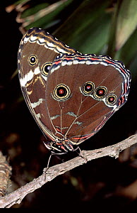 Morpho butterfly newly emerged from pupa, Ecuador, Amazonian rainforest,  underside of wings showing.  -  Pete Oxford