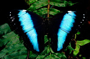 Morpho butterfly (Morpho achilles) showing upperside of wings. Amazonian rainforest, Ecuador, South America  -  Pete Oxford