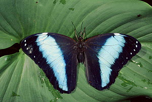 Morpho butterfly newly emerged from pupal case, upper side of wings showing. Amazon rainforest, Ecuador  -  Pete Oxford