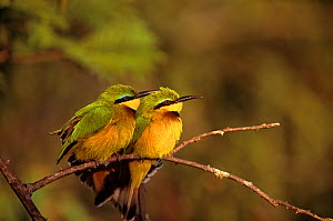 Two Little Bee-eaters (Merops pusillus) perched on branch, Masai Mara GR, Kenya. - Peter Blackwell