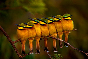 Seven Little Bee-eaters (Merops pusillus) in a row, one facing away, Masai Mara, Kenya.  -  Peter Blackwell