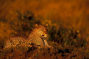 Leopard in golden sunset Kenya. (Panthera pardus) Masai Mara Resting on grassy mound.  -  Peter Blackwell