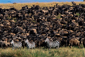 Three Zebra stand with herd of Wildebeest (Equus quagga) Masai Mara, Kenya.  -  Peter Blackwell