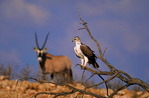 Juvenile Martial eagle with Gemsbok (Oryx gazella) in background, Kalahari Gemsbok National Park  -  Richard Du Toit