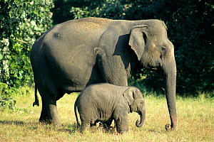 Indian elephant mother with baby (Elephas maximus) Bandhavgarh NP, India  -  E.A. KUTTAPAN